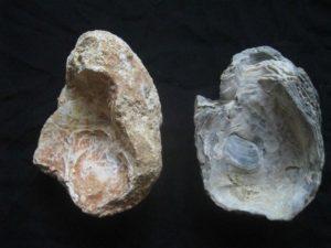 Crassostrea Sp. Image copyright @WFS,world Fossil Society,Riffin T Sajeev,Russel T Sajeev