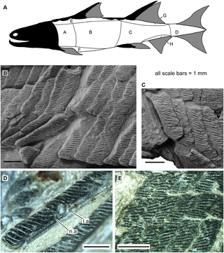 Scales of Sparalepis tingi gen. et sp. nov., holotype V17915. A. generalised reconstructed silhouette of Sparalepis showing scale zones based on the scheme of Esin [30]. B. Area A scales from the right flank. C. Area A scales from the left flank. D. Area B scale in anterolateral view. E. Area E scales. Abbreviations: l.a, anterior ledge; n.a, anterior notch.