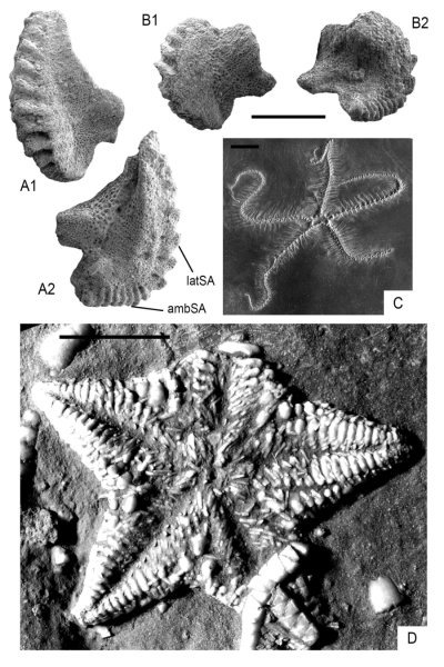 These are paleozoic hangover asterozoans. Specimen repositories: MHI = Muschelkalkmuseum Ingelfingen; MnhnL = Natural History Museum Luxembourg. Figure courtesy B. Thuy et al., copyright The Geological Society of America, 2017. Credit: Figure courtesy B. Thuy et al., copyright The Geological Society of America, 2017.