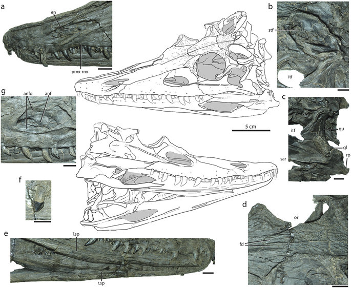 Holotype specimen of Diandongosuchus fuyuanensis (ZMNH M8770), showing relevant cranial features shared with Phytosauria.