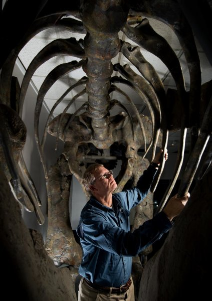 BYU researcher Brooks Britt is with the newly discovered Moabosaurus, on display at BYU's Museum of Paleontology. Credit: Jaren Wilkey, BYU