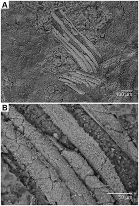 Fig 2. Scanning electron micrographs of the gills of Gondwanagaricites magnificus gen. et sp. nov. (A) Section of preserved gills (location indicated by red box on Fig 1B). (B) close-up view of (A) showing detailed structure.