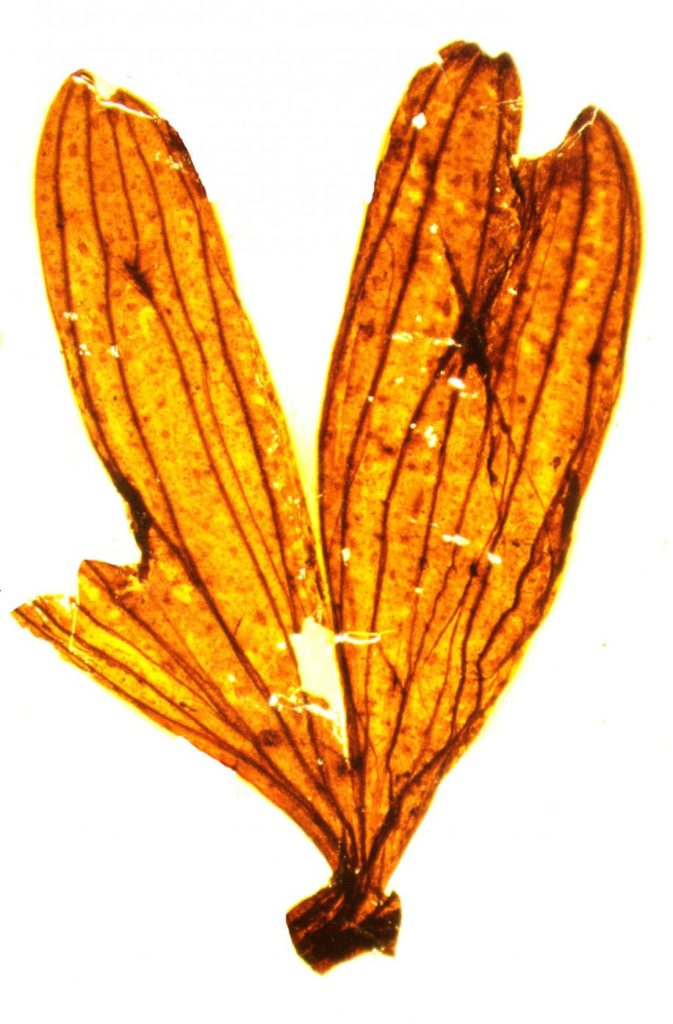 Remains of a ginkgo leaf preserved in fossil from the Jurassic era (Photo: Vivi Vajda)