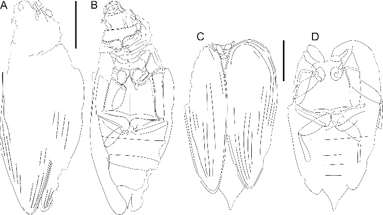 Line drawings of †Ponomarenkia belmonthensis sp. nov. A, B, holotype; C, D, paratype. Scale bars = 1 mm.