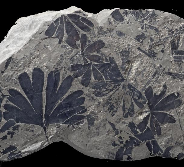 Fossil Ginkgo (Photo: Stephen McLoughlin)