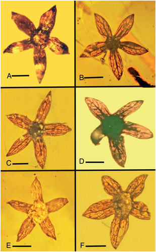Five-sepal specimens of Tropidogyne pentaptera sp. nov. examined in this study. A: Holotype. Bar = 1.0 mm. B: Paratype B Bar = 1.2 mm. C: Paratype C. Bar = 1.0 mm. D: Paratype D. Bar = 0.9 mm. E: Paratype E. Bar = 0.9 mm. F: Paratype F. Bar = 1.0 mm