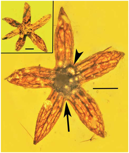 Flower of Tropidogyne pentaptera sp. nov., paratype C, showing basal fusion of sepals (arrow) and connection between lateral veins (arrowhead). Bar = 0.9 mm. Insert shows six-sepaled flower (paratype G). Bar = 0.6 mm.