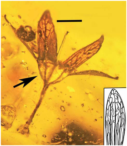 Adnate hypanthium (arrow) showing 5 of the 10 longitudinal ribs of Tropidogyne pentaptera sp. nov., paratype F. Bar = 0.7mm. Insert: Sepal of Ceratopetalum succinibrum, showing venation similar to the fossil.