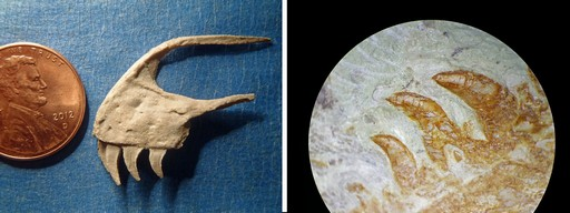 Left: The teeth of a young Utahraptor excavated from the slab, next to a penny to show scale. Right: Serrated Utahraptor teeth embedded in the slab, viewed through a preparation microscope. Credit Left: Jim Kirkland; right: Scott Madsen The block proved