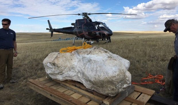 "A Chasmosaur skull in plaster is shown after being airlifted out of the Alberta badlands in this Tuesday, Sept. 26, 2017 handout photo. Two years after paleontologist Jordan Mallon of the Canadian Museum of Nature and his team discovered the skull of a chasmosaur while going through a dinosaur bonebed in Alberta, he finally got to see a helicopter lift it into the air.""There's no roads down to the site, it's very remote,"" Mallon said Tuesday from Brooks, Alta., where the chopper was refuelling as it made its way from the spot along the South Saskatchewan River back to Calgary after completing the lift last month. (Canadian Museum of History/The Canadian Press)"