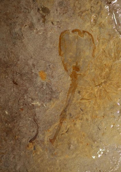 This is the only example of a species that lived in Utah during the mid Cambrian. Researchers believe the specimen probably drifted away from a community of similar stalked filter feeders. Credit: Julien Kimmig | KU News Service
