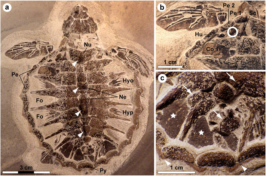 Holotype of Tasbacka danica. (a) Photograph of the fossil. Fo, fontanelle (the light colour is a result of sediment infill); Hyo, hyoplastron; Hyp, hypoplastron; Ne, neural; Nu, nuchal; Pe, peripheral; Py, pygal. Arrowheads indicate neural nodes. (b) Detail of the carapace with the sampled area demarcated by a circle. Co, costal; Hu, humerus; Sc, scapula. (c) Higher magnification image showing marginal scutes (arrowheads), pigmentations on bones (arrows), and a brown-black film covering the fontanelles (stars).