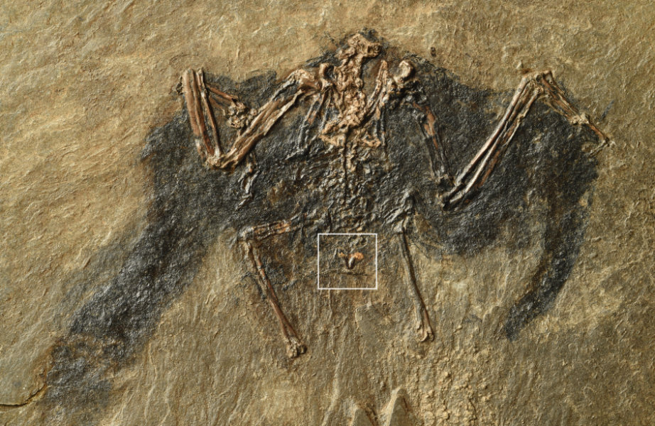 "48-million-year old bird fossil excavated at the ""Messel Pit"" in Germany. Markings show the uropygial gland. Credit: Copyright: Sven Traenkner/ Senckenberg"