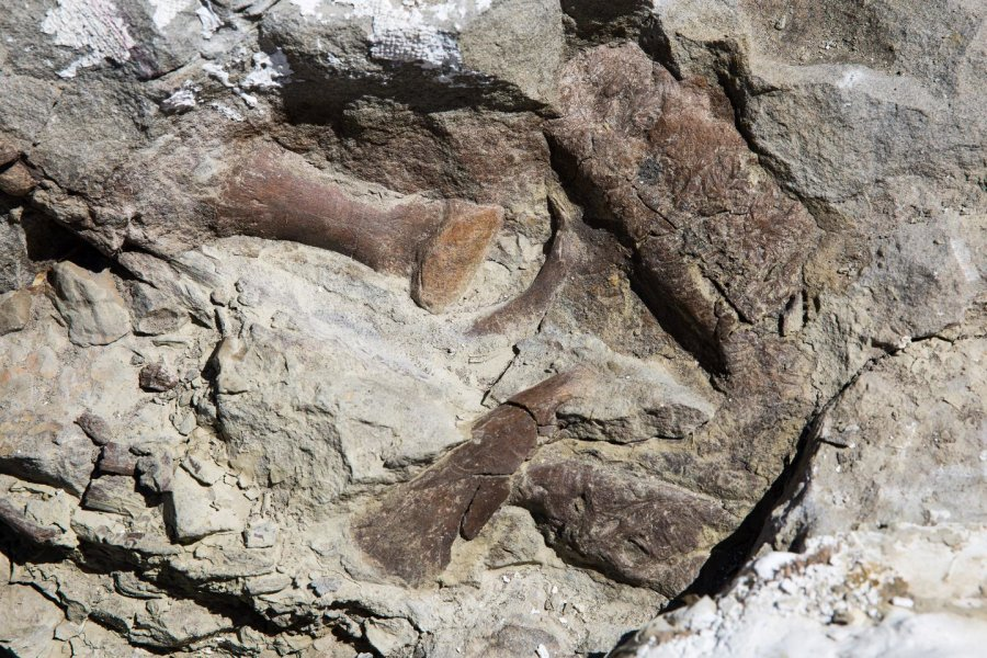 Toe bones, the upper jaw and snout of the fossilized remains of a tyrannosaur skeleton found in Grand Staircase-Escalante National Monument. The skeleton is the most complete of its kind found in the Southwest United States. Credit: Mark Johnston/NHMU