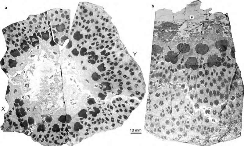 Illustrative transverse plane through the small trunk, showing the three naturally-fractured parts. Credit: Xu and Berry, 2017. Read more at: https://phys.org/news/2017-10-fossils-world-oldest-trees-reveal.html#jCp