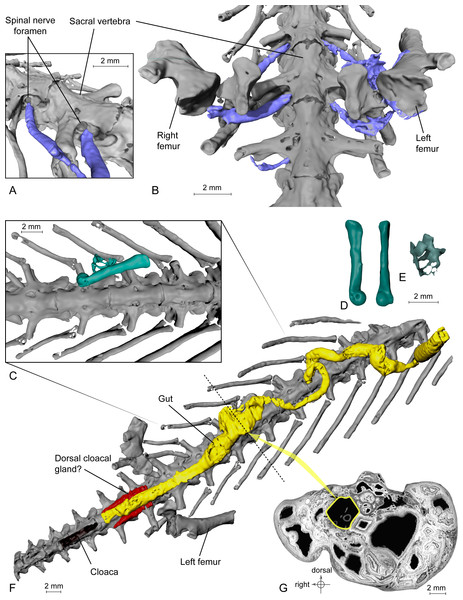 Exceptional preservation of nerves, digestive tract and stomachal content. (A and B) 3D reconstructions of the pelvic section of MNHN.F.QU17755, in laterodorsal (A) and ventral (B) views. The lumbosacral plexus (in blue) is partly preserved. Nerves exit the last trunk, the sacral and the first caudosacral vertebrae through the spinal nerve foramina. (C) Preserved bones of an anuran frog (ranoid?), in green, inside the digestive tract (not shown, to better reveal its content; see Fig. 3F) of MNHN.F.QU17755. (D) Anuran humerus found inside digestive tract of MNHN.F.QU17755, in lateral and ventral views. (E) Anuran vertebrae found inside digestive tract of MNHN.F.QU17755. The centrum is very thin; the holes may represent segmentation artifacts. (F) 3D reconstruction of MNHN.F.QU17755 in ventral view, showing the nearly complete digestive tract. The caudal end is very close to the cloaca, and is bordered near the pelvic girdle by presumed dorsal cloacal glands (see Fig. 4A). The dotted line represents the position of the virtual section illustrated in Fig. 3G. (G) Virtual section of the trunk, showing the digestive tract (in yellow) and its content (frog bones).