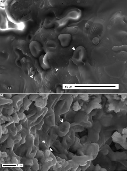 Electron microscopy of abiotically-formed structures as an explanation for 'dinosaur blood'. A) Moderately matured turkey skin. B) Proposed blood-like structures in a dinosaur bone (modified from Bertazzo et al. (2015, online Supplementary Fig. 3c) and used under Creative Commons CC-BY license). Presented here with a defined scale bar. Arrowheads indicate several shared structures: (1) concave bulge/fold continuous with the underlying organic material; (2) pit/simple fold; (3) spherical bulge. Credit: University of Bristol