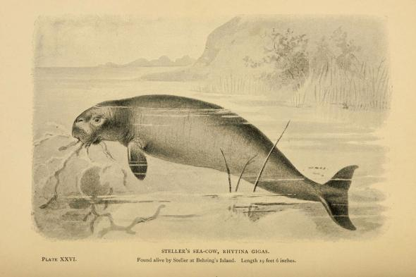 This historic drawing shows a Steller's sea cow in life. Courtesy of Biodiversity Heritage Library (CC BY), Creative Commons