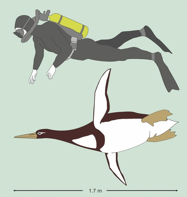 This illustration shows the sizes of an ancient giant penguin Kumimanu biceae and a human being. Photograph: Gerald Mayr/AP