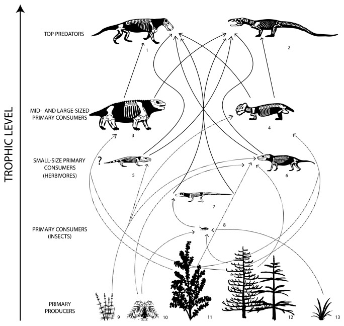 Simplified trophic network architecture of the Bletterbach biota (Southern Alps), showing the inferred complex interactions of floral and faunal communities; 1) faunivorous therapsids; 2) archosauromorphs; 3) pareiasaurs; 4) herbivorous therapsids; 5) possible captorhinids; 6) indet. therapsids; 7) basal neodiapsids; 8) insects; 9) sphenophytes; 10) seed ferns; 11) ginkgophytes; 12) conifers; 13) taeniopterids.