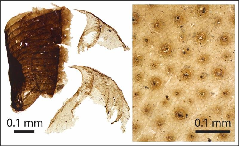 Microscopic animal fossils. From left; the oldest known pterobranch hemichordate; teeth from a priapulid, a sediment dwelling predatory worm; the carapace of a tiny arthropod. Credit: Slater, Willman, Budd and Peel