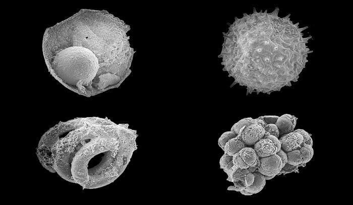 This is an image of assorted microfossils from the Ediacaran Khesen Formation, Mongolia. Each fossil is on the order of 200 microns maximum dimension. Credit: Yale University