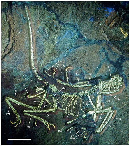 Overview of the skeleton of the new Archaeopteryx specimen under UV light. Areas of the skeleton that remain dark have been reconstructed during preparation. fu, furcula; ga, gastralia; is, ischium; lfe, left femur; lhu, left humerus; lma, remains of left manus; lmt, left metatarsus; lra, left radius; lsc, left scapula; lti, left tibia; lul, left ulna; pu, pubis; rfe, right femur; rhu, right humerus; rma, remains of right manus; rmt, right metatarsus; rra, right radius; rsc, right scapula; rti, right tibia; rul, right ulna; sk, skull. Scale bar is 50 mm.