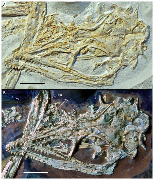 The skull and mandibles of the 12th specimen of Archaeopteryx. Skull and mandibles of the 12th specimen of Archaeopteryx, under normal light (A) and UV light (B). cv, cervical vertebra; lhu, left humerus. Scale bars are 10 mm.