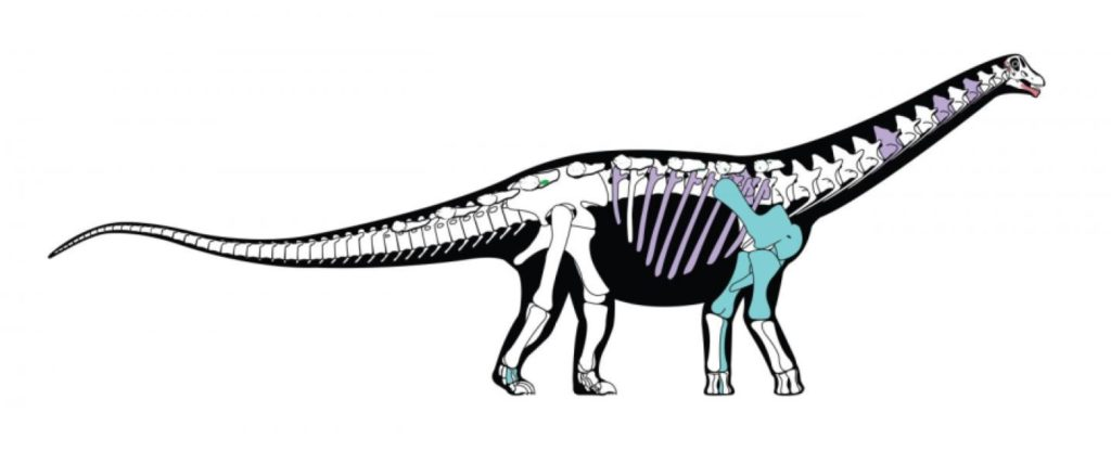 Skeletal reconstruction of the new titanosaurian dinosaur Mansourasaurus shahinae from the Late Cretaceous of the Dakhla Oasis, Egypt. Bones shown in color are those that are preserved in the original fossil; other bones are based on those of closely related dinosaurs. Credit: Andrew McAfee, Carnegie Museum of Natural History