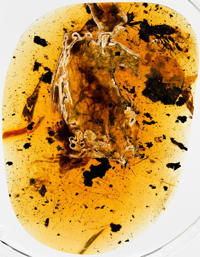 The amber containing the dinosaur-era bird had been polished partway through the body, allowing researchers to peer inside the skull and chest cavity and chemically map its exposed soft tissues. Photograph by R.C. McKellar, Royal Saskatchewan Museum