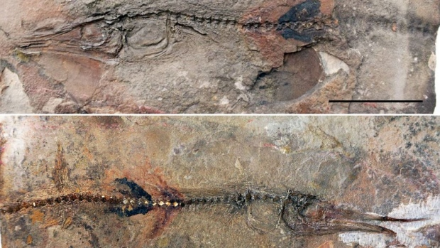 This perfectly-preserved ancient fish fossil was discovered embedded in the flagstones of an old Colombian monastery by a young boy. (Oksana Vernygora)
