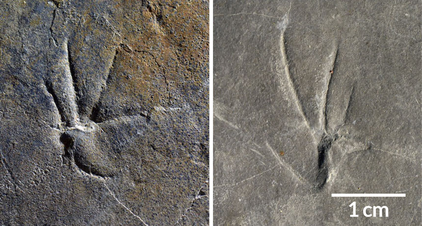 IMPRINTS Scientists think that these fossilized footprints may represent the earliest evidence of a lizard running on two legs. Here, a front print (left) and a back print (right) are shown. H. LEE ET AL/SCIENTIFIC REPORTS 2018