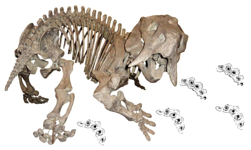 This is a skeleton of the dicynodont Placerias, a close relative of the newly-discovered Pentasaurus, with dicynodont trackways (Pentasauropus). Credit: Christian Kammerer