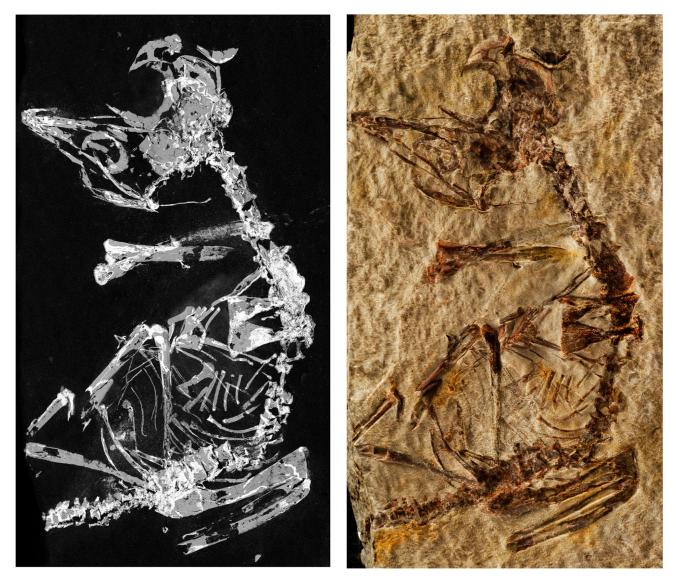 Phosphorous mapping image and photo of fossil. Credit: Dr. Fabien Knoll