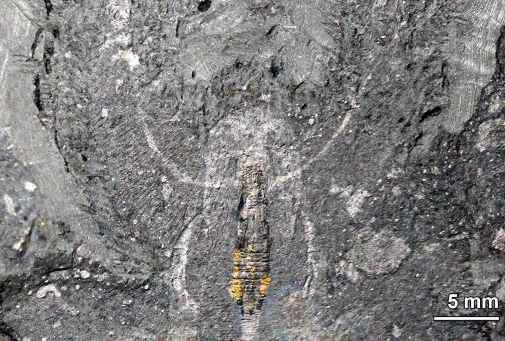A HALF-BILLION-YEAR-OLD BRAINA well-preserved Kerygmachela fossil from Greenland (left) contains identifiable nervous system tissue in the head (closeup, right). This new evidence suggests that the common ancestor of all panarthropods lacked a complex brain. PHOTOGRAPH BY TAE YOON PARK, KOPRI