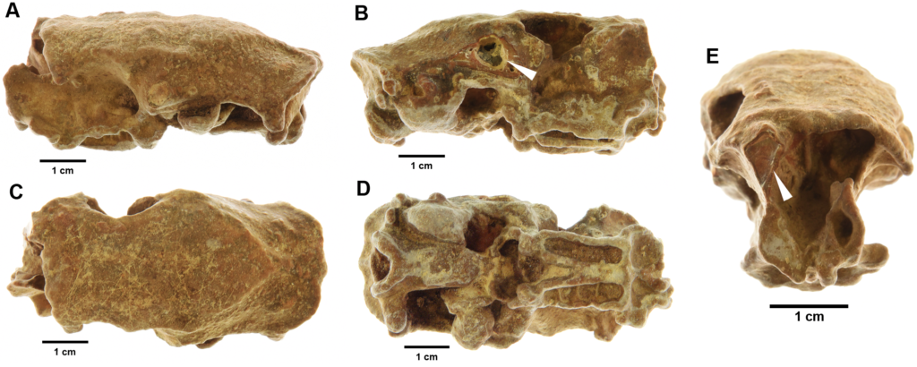 Skull from hutia, Capromys sp. (sample number 24, Bedding Plane II Cave, Cayman Brac) showing an example of the extent of mineralisation that is typical in Cayman Island assemblages. Images show left (A), right (B), dorsal (C), ventral (D) and anterior (E) sides of skull. For interest, arrows indicate sites where sampling was achieved for 14C dating and ZooMS analysis