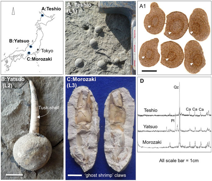 Sampling locations and the characteristics in hand specimen of studied Japanese spherical carbonate concretions. (A) Teshio concretions (L1); (B) Yatsuo tusk-shell concretions (L2), and (C) Morozaki 'ghost-shrimp' concretions (L3). Teshio concretions from Hokkaido with rounded impressions in their centers suggesting the presence of a non-skeletal animal (arrows: A1). δ13C data also suggest an organic carbon origin. (D) X-ray diffractograms for each concretion shows a clear calcite peak. Index map is based on the data of Geospatial Information Authority of Japan website (http://www.gsi.go.jp/maps.gsi.go.jp). All photographs (A–C) shown here are taken by H.Yoshida.