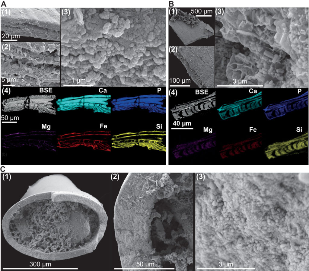 Preservation of linguliformean brachiopods and Torellella from the Comley Limestones. (A) SEM and EDX analyses of pristine brachiopods preserve alternating compact and porous phosphatic laminae [(1) and (2)]; compact laminae comprise densely packed phosphatic spherules (3). Diagenetically sensitive elements, particularly Fe and Mg, are restricted to porous laminae (4). BSE, backscattered electron image. (B) SEM and EDX analyses of altered brachiopods may preserve laminar microstructure, but compact laminae phosphate has recrystallized to micrometer-scale prismatic crystals (3). Diagenetically sensitive elements indicative of alteration are found throughout altered specimens (4). (C) Pristine Torellella specimens comprise densely packed phosphatic spherules a few tens of nanometers in diameter (3).