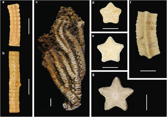 Examples of newly discovered and described Southern Hemisphere stalked crinoids. a, b Isocrinus sp. 1 lateral surface views (a WAM 88.32; b WAM 88.6) Cardabia Formation (Wadera Calcarenite Member), Paleocene, Western Australia. c Saracrinus sp. lateral side of the crown (D.916.1) from the Cross Valley Formation, Seymour Island, Antarctica. d, e Metacrinus sp. 2 articular surface views ('Katie's Stars' WAM 17.1938) from Nanarup Limestone, middle Eocene, Western Australia. f Metacrinus sp. 2 lateral surface views (WAM 88.374a) Wilson Bluff Limestone (Toolina Limestone) middle Eocene, Western Australia. g Metacrinus sp. 3 articular surface views (WAM 17.1937) Wilson Bluff Limestone (Toolina Limestone) middle Eocene, Western Australia. Scale bars = 5 mm