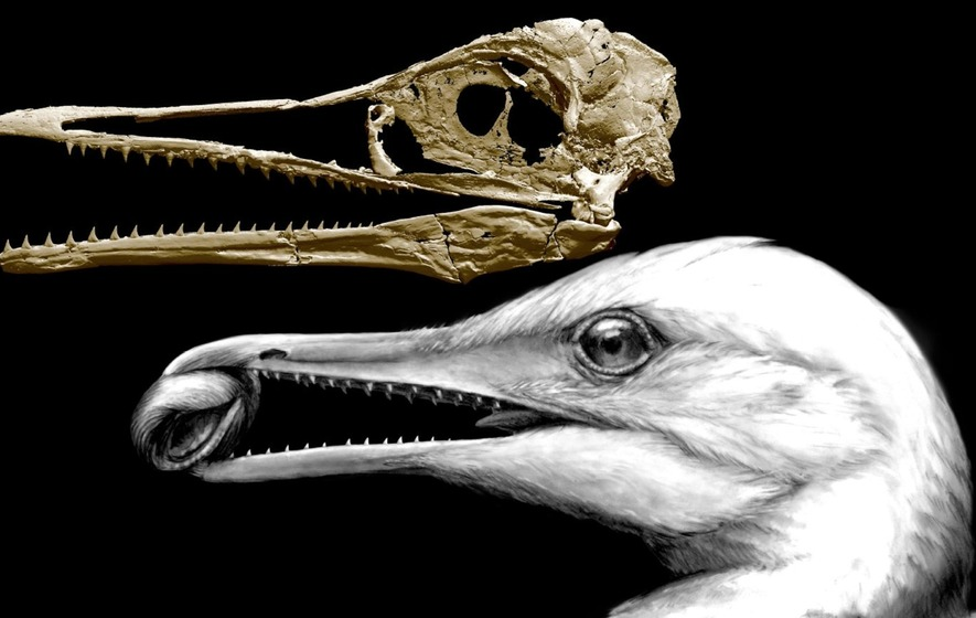 Scientists have pieced together the skull of a toothed bird that represents a pivotal moment in the transition from dinosaurs to modern-day birds.