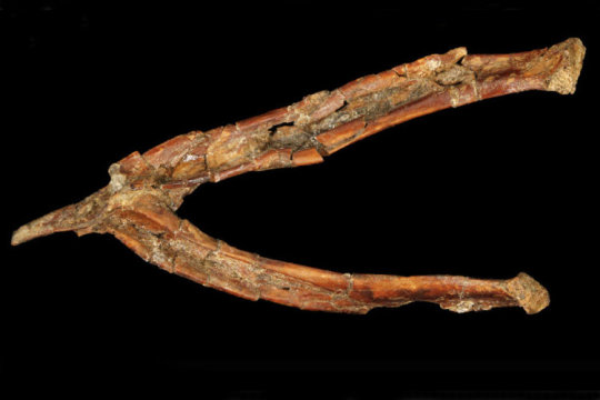 Fossilized wishbone or furcula of Mirarce eatoni. The V shape is more like the wishbones of today's birds, which are agile, strong fliers, than the U-shaped wishbones of theropod dinosaurs. Credit: David Strauss photo