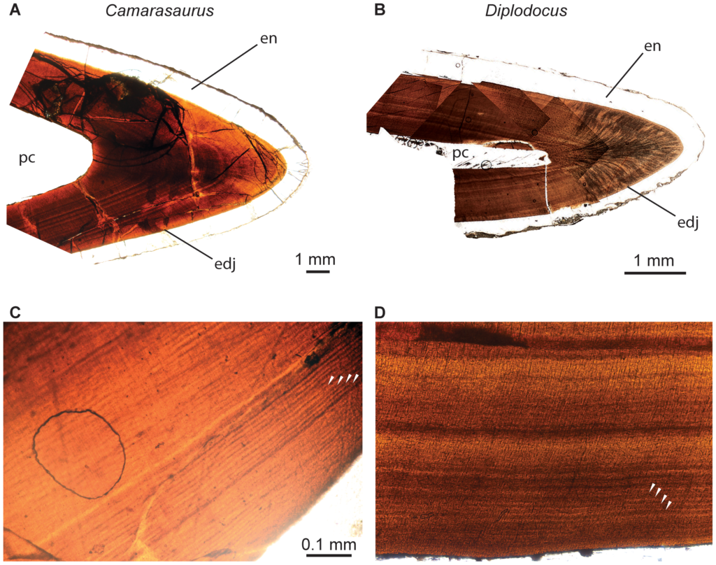 Dental histology of the sauropod dinosaurs Camarasaurus and Diplodocus. Thin sections of Camarasaurus (A, C) and Diplodocus (B, D) premaxillary teeth showing incremental lines of von Ebner (white arrowheads) in dentin. Teeth are oriented with their long axis horizontal and the occlusal surface directed to the right. A shows the tip of tooth 3iii of Camarasaurus, and B shows the tip of tooth 4iv of Diplodocus. C and D are enlarged images of one 'limb' of tooth 3ii and 4iii, respectively. Abbreviations: edj, enamel-dentin junction; en, enamel; pc, pulp cavity. [planned for page width].