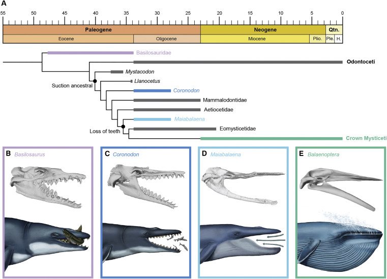 Figure illustrates a composite phylogeny including results from this analysis (Figure S4) and recently published analyses [5, 7, 8]. (A) Time calibrated simplified phylogeny, with collapsed clade resolution for Mammalodontidae, Aetiocetidae and Eomysticetidae, and crown Mysticeti. (B–E) Colored bars indicate groups figured; gray bars indicate groups not figured. Panels (b–e) represent 3D models of select specimens in lateral view with artistic reconstructions of their feeding modes: (B) Basilosaurus isis; (C) Coronodon havensteini; (D) Maiabalaena nesbittae; and (E) Balaenoptera musculus. These panels illustrate the loss of a functional dentition, the intermediate phase with neither teeth nor baleen, and the subsequent origin of baleen. Illustrations are original artwork by Alex Boersma (www.alexboersma.com).
