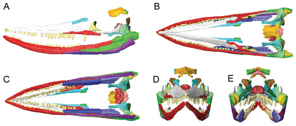 Surface models (generated from CT scan data) of the skull of BMT 1955.G35.1, Protoichthyosaurus prostaxalis. After the removal of minor damage and duplication/mirroring of asymmetrically preserved elements, and digital articulation of individual bones to produce a more accurate digital 3D reconstruction. Displacement of the lower jaw and premaxillae and nasals are the result of deformation (see text). Left lateral (A) dorsal (B) ventral (C) anterior (D) and posterior (E) views of the upper and lower jaws. Individual bones labelled using the same colours as Figs. 2–4.