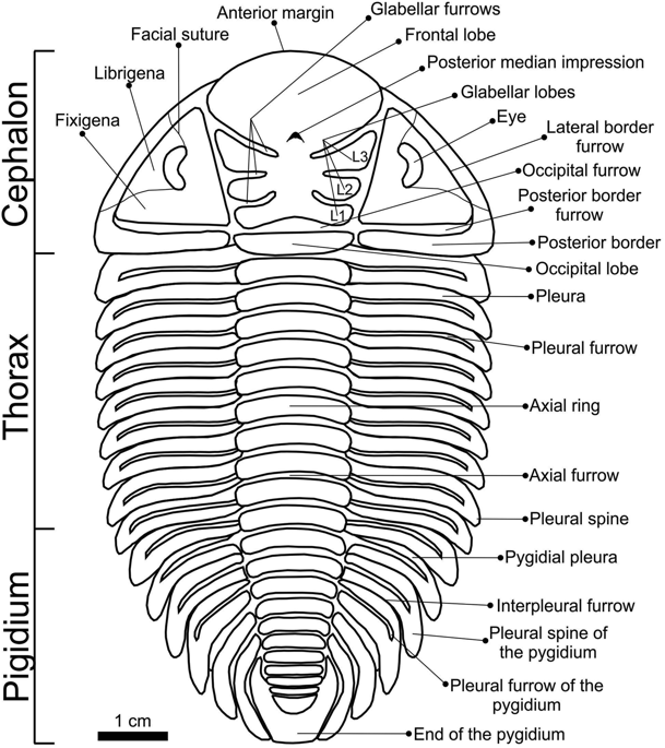 Schematic drawing showing the major exoskeleton elements of the dorsal surface of Metacryphaeus.