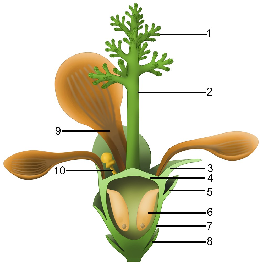 Idealized reconstruction of Nanjinganthus. 1, branches of dendroid style; 2, dendroid style; 3, sepal; 4, ovarian roof; 5, scale; 6, seed; 7, cup-form receptacle/ovary; 8, bract; 9, petal; 10, unknown organ (staminode?). https://doi.org/10.7554/eLife.38827.019
