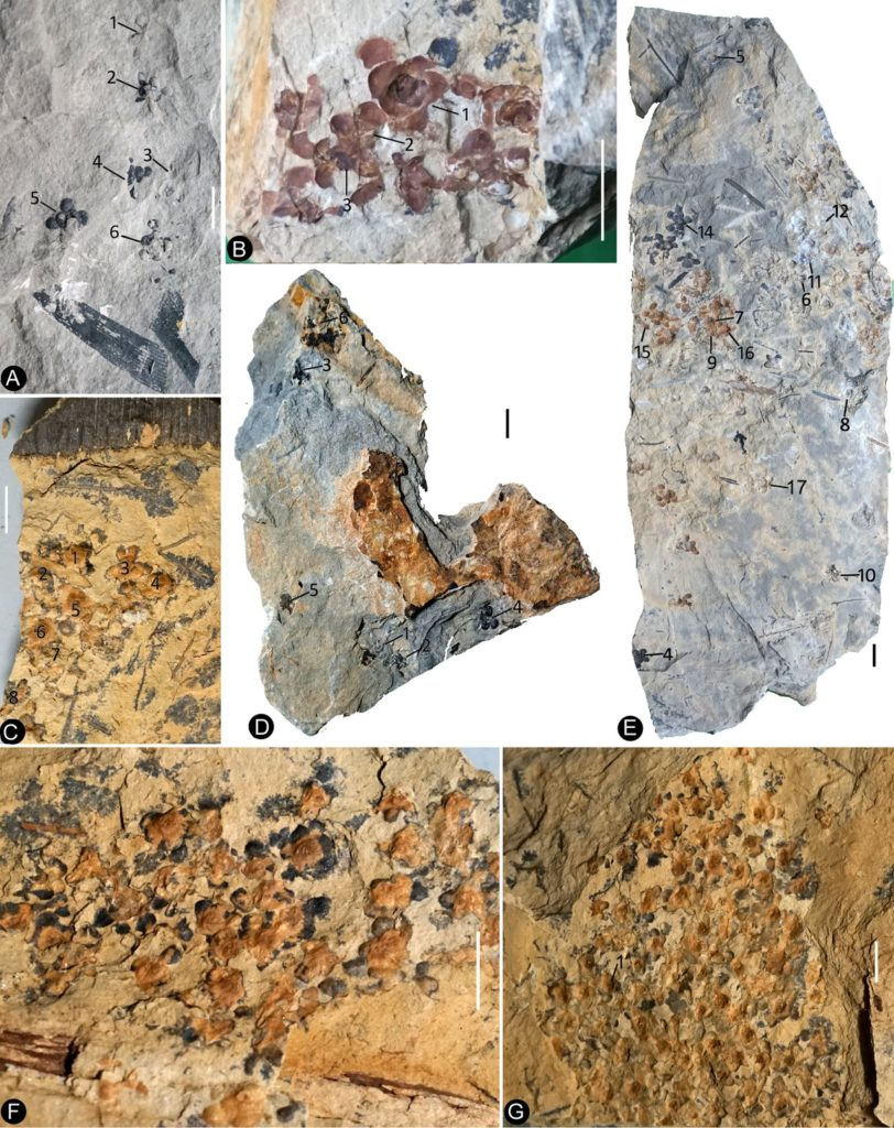Siltstone slabs bearing Nanjinganthus. All bars are 1 cm long. (A) Six flowers (1-6) on the same slab, and an associated triangular leaflet with parallel venation. PB22227. (B) Several flowers on the same slab. 1–3 are shown in detail in Figures 2f and 6d,e. PB22226. (C) Several flowers (1-8) on the same slab and the associated Nilssonia parabrevis (top). PB22220. (D) Several flowers (1-6) on the same slab. 1–3 are shown in detail in Figures 2h and 3a–c. PB22224. (E) Many flowers on the same slab. Some of the numbered ones are shown in detail in later figures. PB22222a. (F) A slab with numerous flowers. PB22221. (G) A slab almost fully covered with flowers. PB22228.