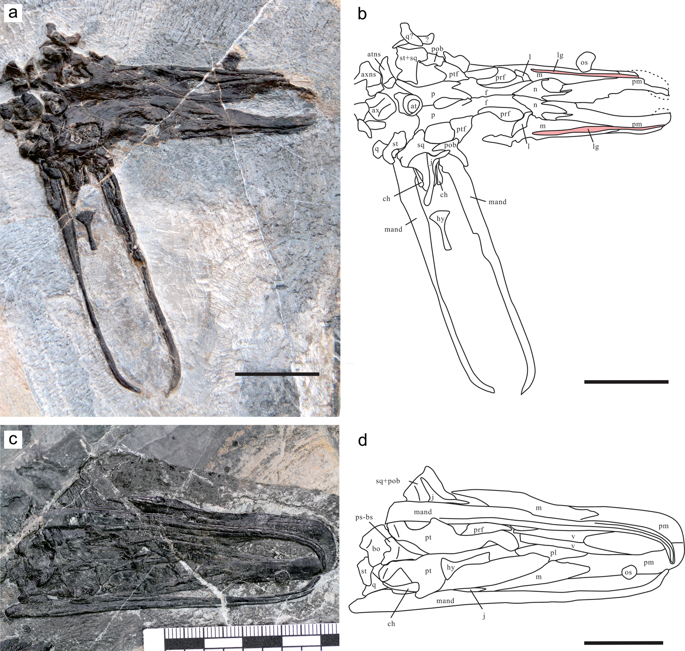 The skull and mandible of Eretmorhipis carrolldongi in two new specimens. (a) and (b) YAGM V 1401, in dorsal view. (c) and (d) WGSC V 1601, in ventral view. Scale bars are 20 mm long. Symbols: at, atlas; atns, atlantal neural spine; ax, axis; axnp, axial neural spine; bh, basihyal lingual process; ch, ceratohyal; f, frontal; j, jugal; l, lacrimal; lg, labial groove for labial cartilage; m, maxilla; mand, mandibular rami; n, nasal; os, bone resembling os paradoxum; p, parietal; palatal, unidentified palatal bones; pl, palatine; pm, premaxilla; pob, postorbital; prf, prefrontal; ps-bs, parasphenoid-basisphenoid complex; pt, pterygoid; ptf, postfrontal; q, quadrate; sq, squamosal; st, supratemporal; v, vomer.