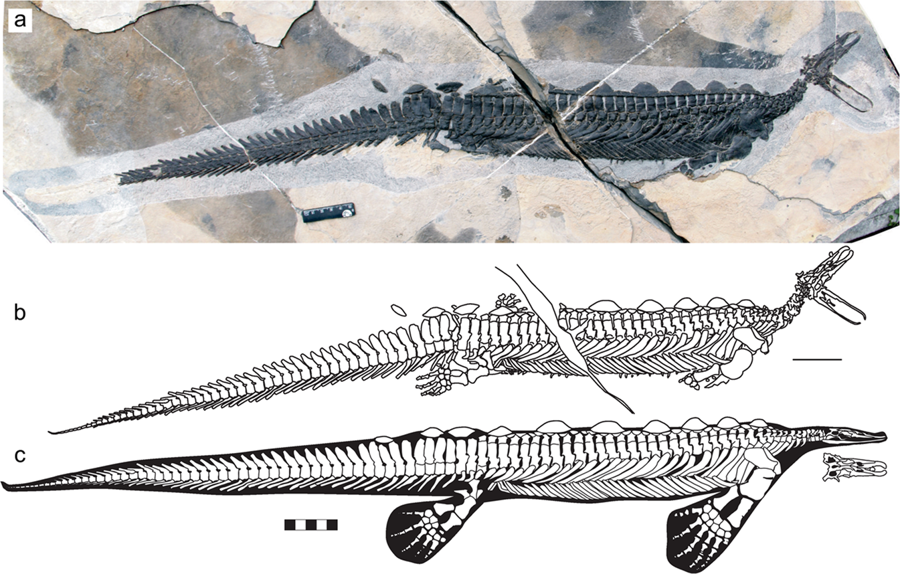 First nearly complete specimen of the rare hupehsuchian Eretmorhipis carrolldongi (YAGM V 1401), revealing an unusually small skull. (a) photograph. (b) outlines of the bones and impressions. (c) skeletal reconstruction, with flippers from the holotype. The ruler is 5 cm long.