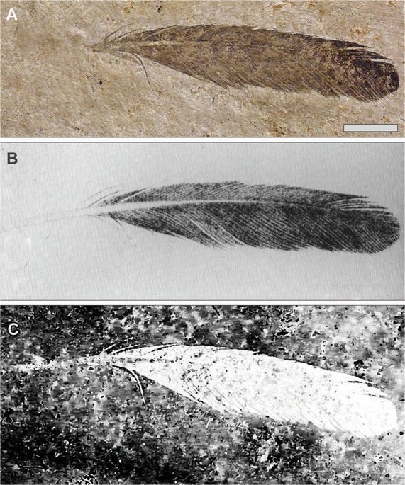 The isolated Archaeopteryx feather, Berlin specimen MB.Av.100. (A) As it looks today under white light (see Plates 1 & 5 [Fig. 1] of7, Fig. 1A of8 and Plate 10 of14). (B) Original drawing from 1862 by von Meyer2. (C) Laser-Stimulated Fluorescence (LSF) showing the halo of the missing calamus (negative image). See Fig. S2 for additional images of the main slab, specimen BSP 1869 VIII 1 ('Munich slab'). Scale bar 1 cm.